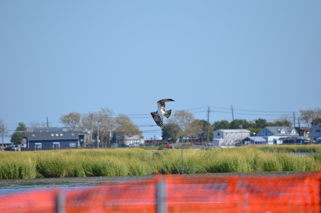 osprey hunting at rulers bar