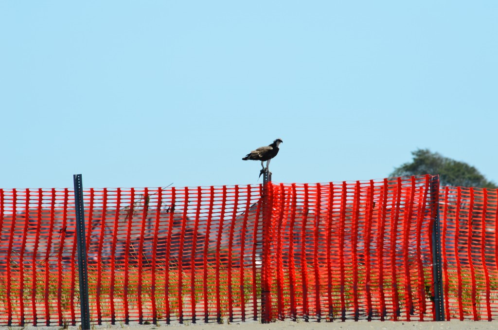 osprey on fencing at rulers bar