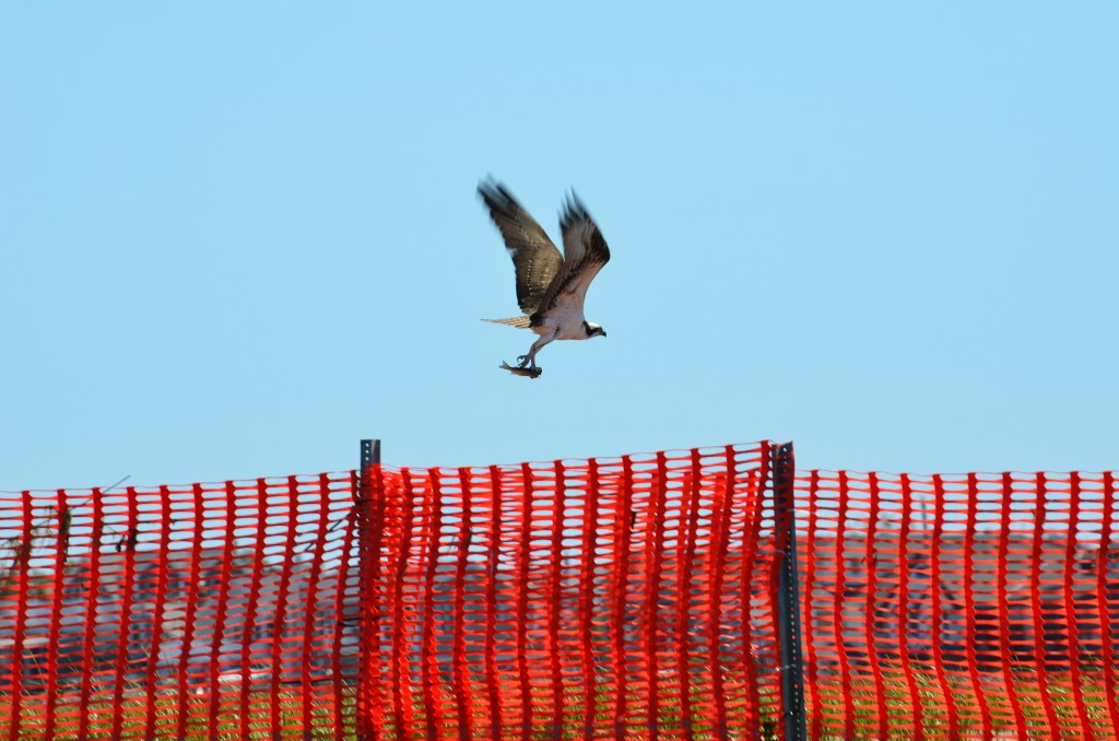osprey with catch flys over rulers bar